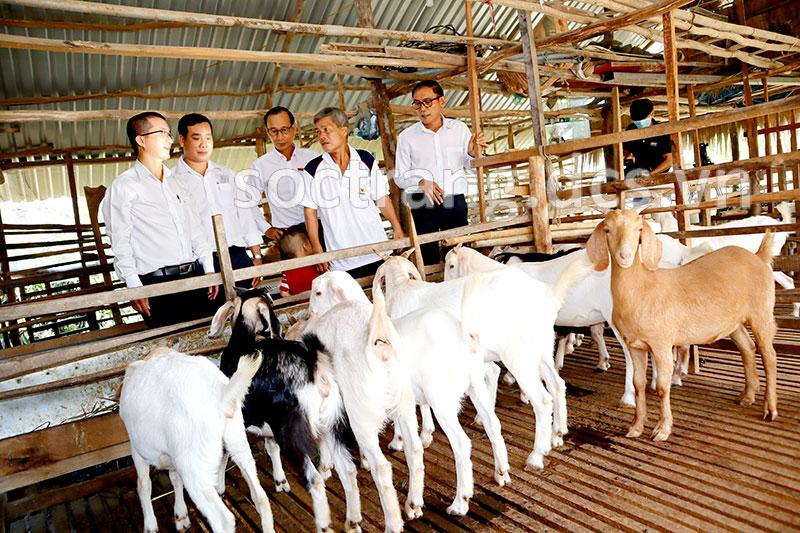 Mô hình nuôi dê nhốt chuồng giúp nông dân có thu nhập cao